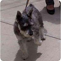 Adopt A Pet :: Schnoozer - Los Alamitos, CA