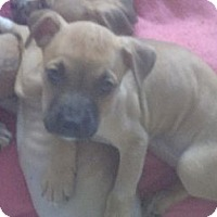 Adopt A Pet :: Reisling - Phoenix, AZ