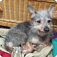 Yorkie, Yorkshire Terrier/Chihuahua Mix Dog for adoption in San Francisco, California - Rascal