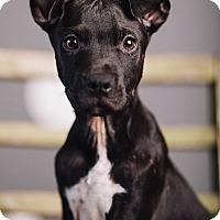 Adopt A Pet :: Elijah - Portland, OR