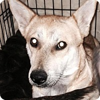 Labrador Retriever/Corgi Mix Dog for adoption in San Antonio, Texas - A318210  Cora