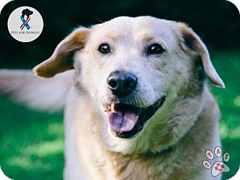 Labrador Retriever/Golden Retriever Mix Dog for adoption in Carlisle, Tennessee - Andee
