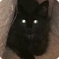 Domestic Mediumhair Kitten for adoption in Grand Junction, Colorado - Satin