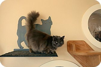 Domestic Mediumhair Cat for adoption in Kingston, Washington - Leyla
