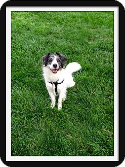 Australian Shepherd/Border Collie Mix Dog for adoption in Colorado Springs, Colorado - Max