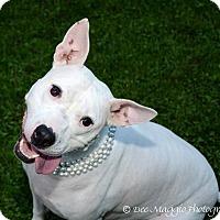 Adopt A Pet :: Harley - Livonia, MI