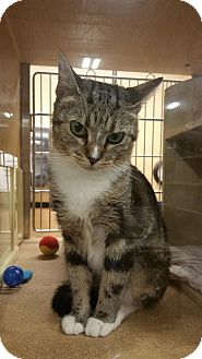 Domestic Shorthair Cat for adoption in Burlington, North Carolina - Sadie
