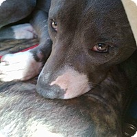 American Staffordshire Terrier/American Pit Bull Terrier Mix Dog for adoption in Covington, Tennessee - Little Gracie