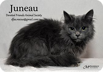 Domestic Longhair Cat for adoption in Ortonville, Michigan - Juneau