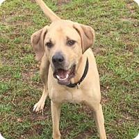 Hound (Unknown Type) Mix Dog for adoption in Columbia, South Carolina - Lio