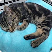Adopt A Pet :: Meow - Whitehall, PA