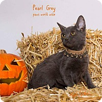 Russian Blue Kitten for adoption in Westlake, California - PEARL GREY