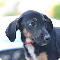 Hound (Unknown Type) Mix Puppy for adoption in Acworth, Georgia - Rock - Music Litter