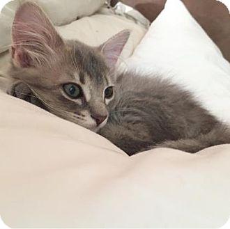 Domestic Shorthair Kitten for adoption in Austin, Texas - Eva