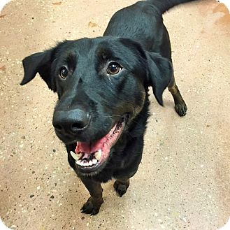 Labrador Retriever/Shepherd (Unknown Type) Mix Dog for adoption in Appleton, Wisconsin - Ralph