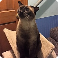 Siamese Cat for adoption in Warrenton, Missouri - Logan