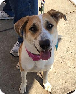 Collie Mix Dog for adoption in Rockville, Maryland - Callie