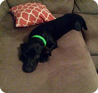 Dachshund Mix Dog for adoption in Aurora, Colorado - Tonka