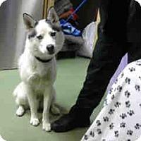 Husky Mix Dog for adoption in San Bernardino, California - URGENT 1/7 @ DEVORE