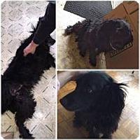 Adopt A Pet :: Brody - Cambridge, ON