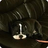 Adopt A Pet :: magoo - Houston, TX