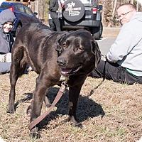 Labrador Retriever Mix Dog for adoption in Midlothian, Virginia - Alley the Black Lab