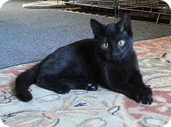 Domestic Shorthair Kitten for adoption in N. Billerica, Massachusetts - Darlin