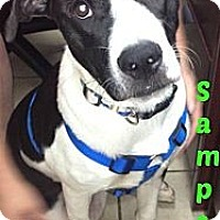 Adopt A Pet :: Sampson - MAIDEN, NC