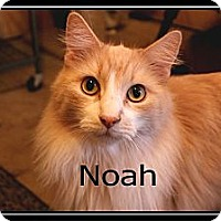Domestic Longhair Cat for adoption in Wichita Falls, Texas - Noah