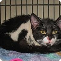 Adopt A Pet :: Tic - Shelton, WA