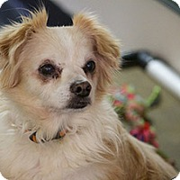 King Charles Spaniel/Chihuahua Mix Dog for adoption in Studio City, California - Marko