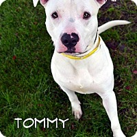 Adopt A Pet :: Tommy - Toledo, OH