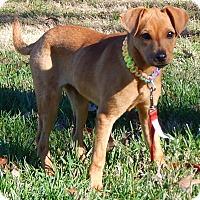 Adopt A Pet :: Cheyenne(12 lb) Intelligent! - SUSSEX, NJ