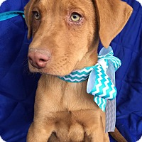 Adopt A Pet :: Ashton pending adoption - Manchester, CT