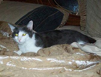Domestic Shorthair Cat for adoption in Cincinnati, Ohio - zz 'Chloe' courtesy listing