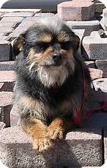 Terrier (Unknown Type, Medium) Dog for adoption in Yucaipa, California - Misty Blue