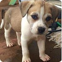 Adopt A Pet :: Amby - Thompson's Station, TN