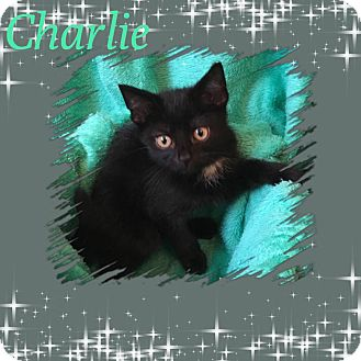 Domestic Shorthair Kitten for adoption in Covington, Kentucky - Charlie