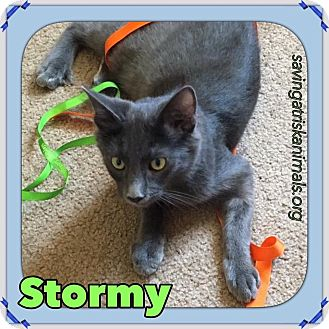 Russian Blue Kitten for adoption in Tucson, Arizona - Stormy