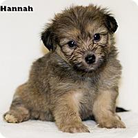 Adopt A Pet :: Hannah - Shamokin, PA