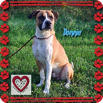 Boxer/Labrador Retriever Mix Dog for adoption in Elgin, Illinois - Donnie