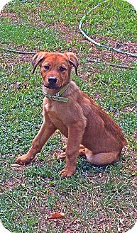 Golden Retriever/Shepherd (Unknown Type) Mix Puppy for adoption in Albertville, Minnesota - Penelope