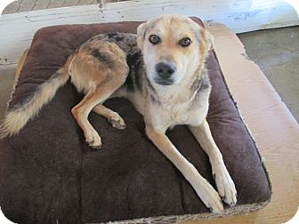 German Shepherd Dog/Catahoula Leopard Dog Mix Dog for adoption in Lancaster, California - Buddy