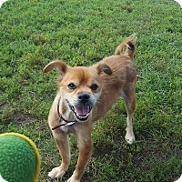 Adopt A Pet :: Buddy - Indianola, IA