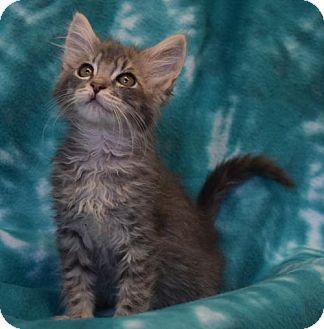 Domestic Shorthair Kitten for adoption in Eureka, California - Goldie