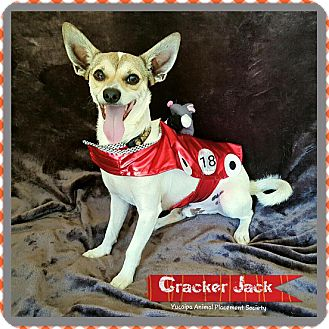 Chihuahua Mix Dog for adoption in Yucaipa, California - Cracker Jack
