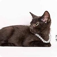 Havana Brown Kitten for adoption in Westlake, California - DANTE