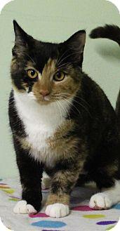 Domestic Shorthair Cat for adoption in Murphysboro, Illinois - Sierra