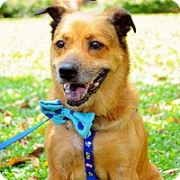 Basenji Mix Dog for adoption in Surrey, British Columbia - Billy