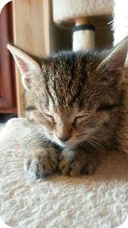 Domestic Mediumhair Kitten for adoption in Chester Springs, Pennsylvania - Mouse